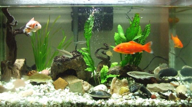 Tipos de acuario mascot house for Clases de peces de acuario