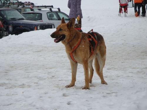 perro en trineo