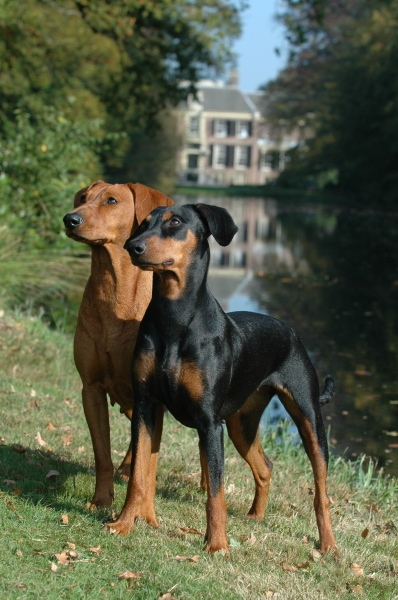 perros pinscher