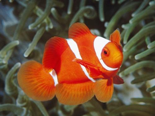 Raza de pez payaso mascot house - Peces para tener en casa ...