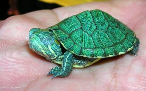 tortuga japonesa