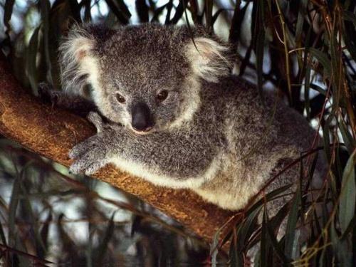 oso koala