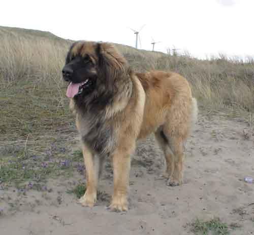 perro leonberg