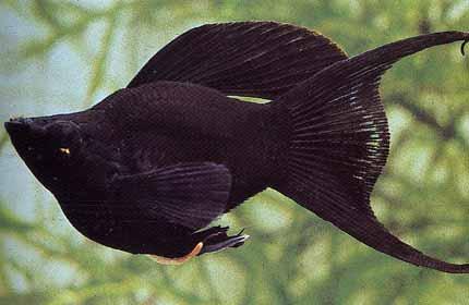 molly lyra negro