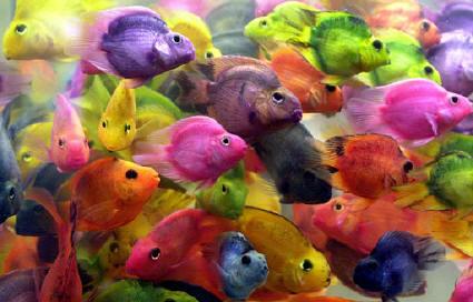 peces-de-colores