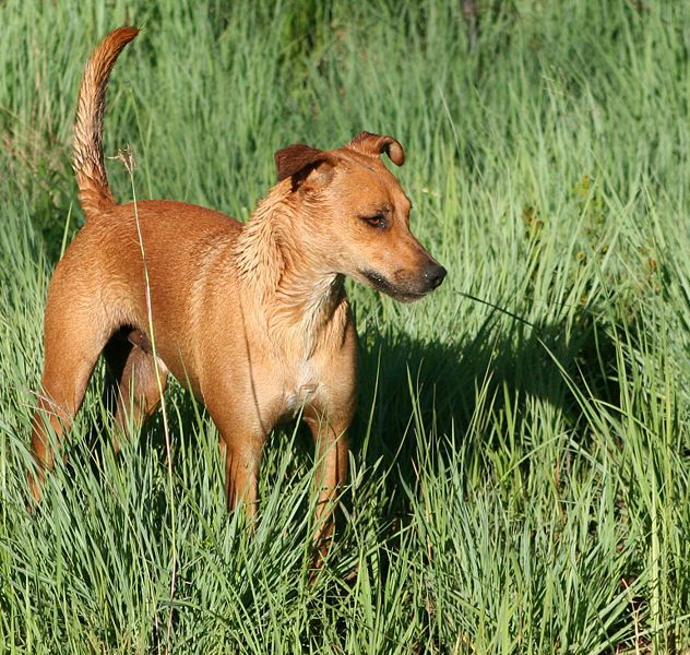 perro africanis