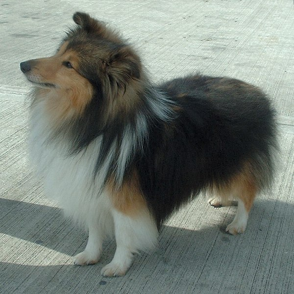 perro shetland collie