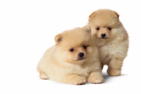 cachorro-pomerania