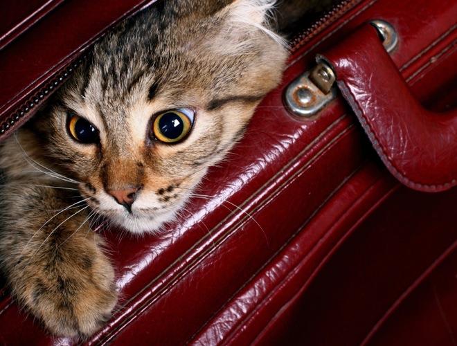 gatos-viaje